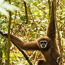 Male Lar Gibbon by Nickolay Stanev