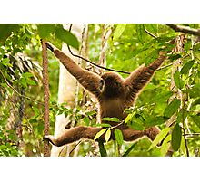 White-handed Gibbon Photographic Print