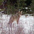 Inga Coyote is back by Edward Henzi