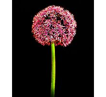 Single Alium by MoGeoPhoto