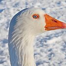 Snow goose by relayer51