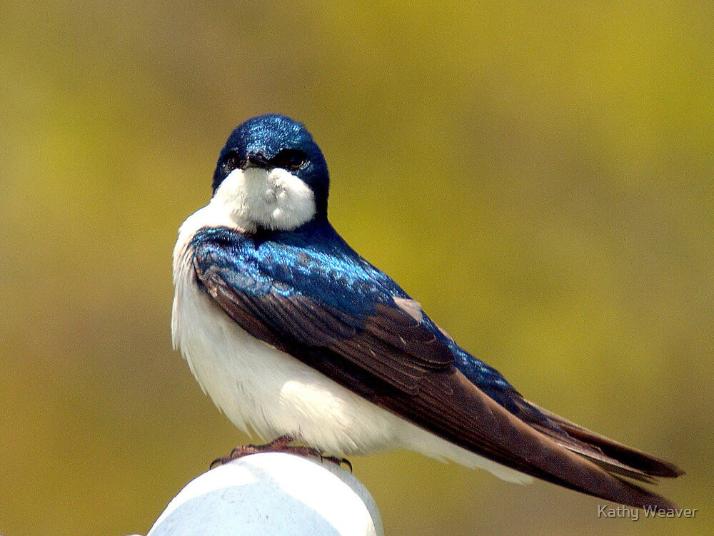 Tree swallow by Kathy Weaver