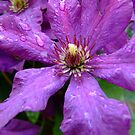 Clematis by James  Smart