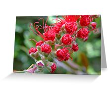 Bottle Brush (Callistemon) Greeting Card