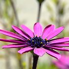 Purple Daisy by James  Smart