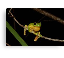 Australian Red Eyed Tree Frog Canvas Print