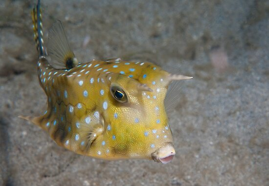 Longhorn Cowfish, North Sulawesi, Indonesia by Erik Schlogl