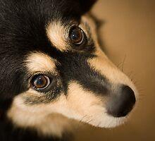 Finnish Lapphund by TerraNik
