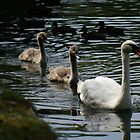 Swan Family by Sarah Lisk Photography