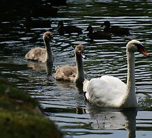 Swan Family by Snowprints Photography