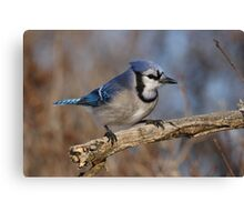Eye-Sparking Jay Canvas Print
