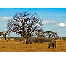 Baobab Tree (Adansonia digitata) Photographic Print