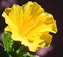 BRIGHT YELLOW HIBISCUS by JAYMILO