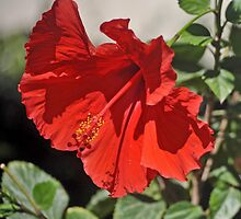 BRIGHT RED HIBISCUS by JAYMILO