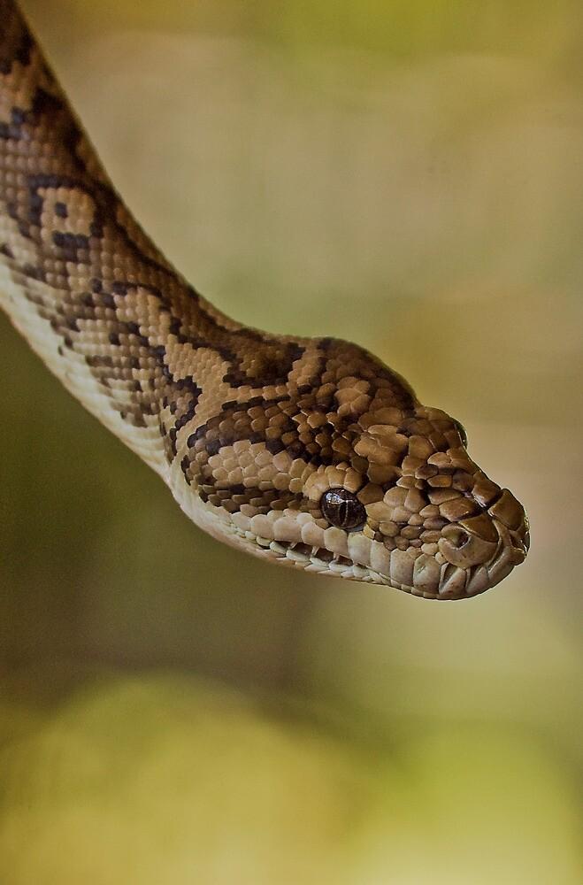 Snakes Alive - carpet python by Jenny Dean