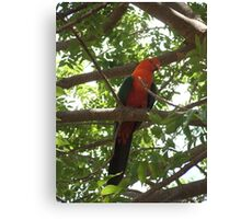 Australian King Parrot, male. Canvas Print