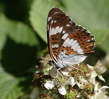 White Admiral butterfly by Hugh J Griffiths