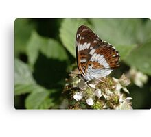 White Admiral butterfly Canvas Print