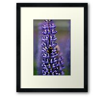 Busy bee lupin landing Framed Print