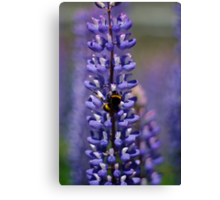 Busy bee lupin landing Canvas Print