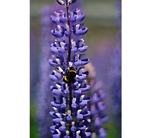 Busy bee lupin landing Photographic Print