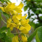 Laburnum by German SC