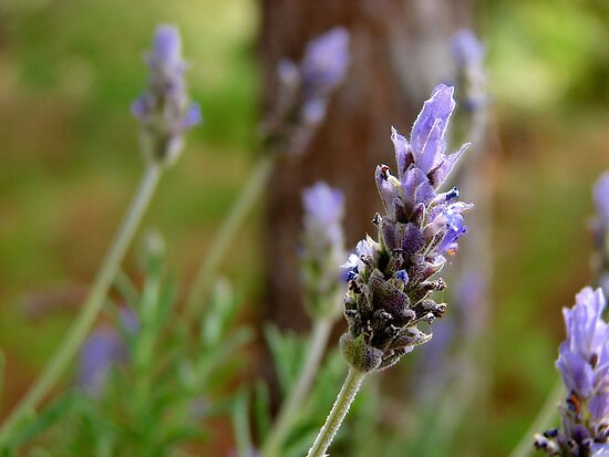 Lavanda by German SC