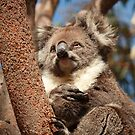 Koala by Elaine Teague