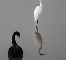 ebony and ivory, at Tamar Wetlands by gaylene