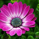 Pink Petals by Pam Moore