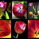 Tulips by karolina