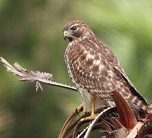 Red-shouldered Hawk  by kathy s gillentine