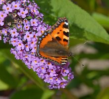 Butterfly on my Buddleia by Alisdair Gurney