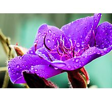 Princess Flower After Rain Photographic Print