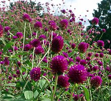 Globe amaranth in the test gardens by Meredith Wickham