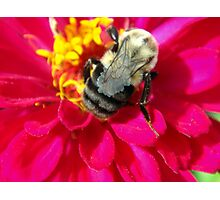 Zinnia and bee Photographic Print