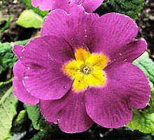 Purple primula by rasim1