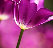 Purple Tulip by GalleryThree