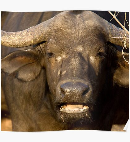 African Buffalo Close Up Poster