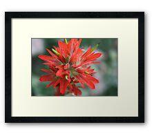 Common Red Paintbrush Framed Print