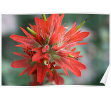 Common Red Paintbrush Poster