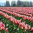 """""""Tulip Festival"""" by Lynn Bawden"""
