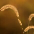 Autumn Grasses by bkphoto