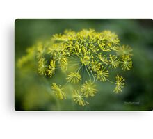 Dill Flower Lace (Anethum graveolens) Canvas Print
