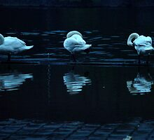 Swans along the Vltava by polanri