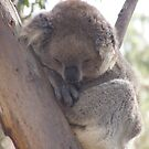 slumbering koala high in the tree tops by cheza77