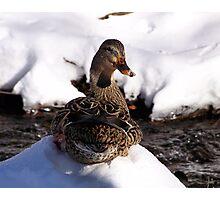 sitting duck Photographic Print