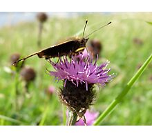 butterfly drinking the nectar of the thistle flower Photographic Print