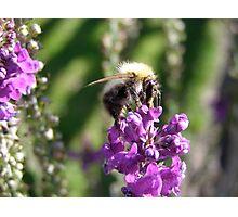 honey bee Photographic Print
