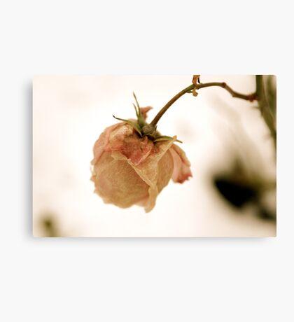 Wilting pink rose Canvas Print